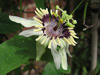 Passiflora Colinvauxii