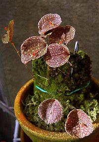 Lepanthes tentaculata