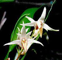 Dendrobium carrii