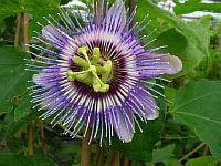Passiflora Kunhuta