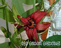 Passiflora Red Dwarf