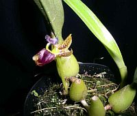 Bulbophyllum ecornutum