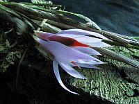 Dendrobium violaceum