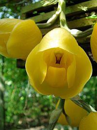 Acineta erythroxantha
