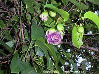 Passiflora laurifolia