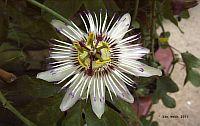 Passiflora Susanne