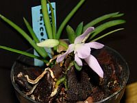 Leptotes unicolor