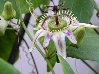 Passiflora Cuspidifolia