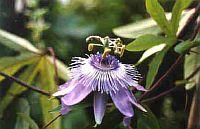 Passiflora Blue Surprise