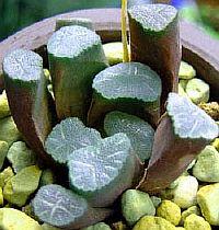 Haworthia maughanii