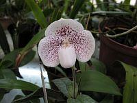 Paphiopedilum ang-tong