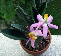 Laelia longipes