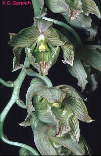 Clowesia dodsoniana
