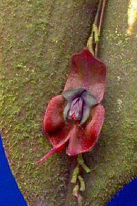 Lepanthes gargoyla