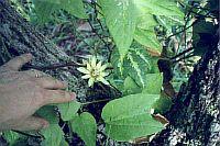 Passiflora Rovirosae