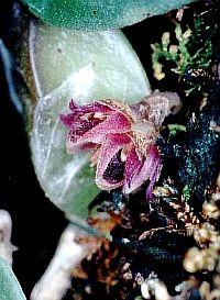 Bulbophyllum aggregatum