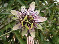Passiflora Postman