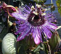 Passiflora Jeannette