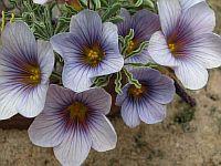 Oxalis Lacinata
