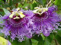 Passiflora Manapany