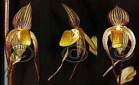Paphiopedilum adductum