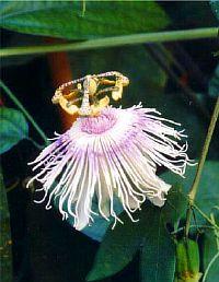 Passiflora Jane Lindsay