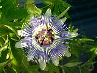 Passiflora Cold Blue