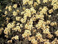 Alyssum sunnybrook apricot