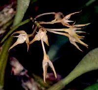 Bulbophyllum arrectum
