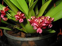 Oncidium Twinkle Red