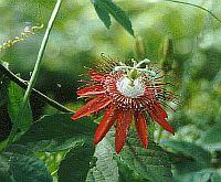 Passiflora Inverleith