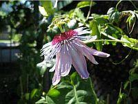 Passiflora Celine