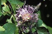 Passiflora Paganini