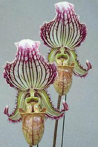 Paphiopedilum fairrieanum