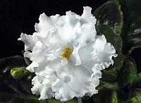 ЕК - Белая Королева