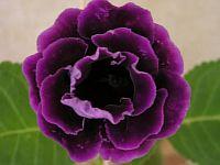 Mr. Violet