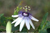 Passiflora Star of Clevedon