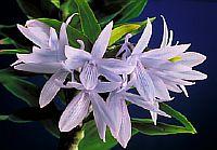 Dendrobium ceraula