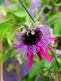 Passiflora Swingtime