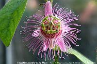 Passiflora Nephrodes