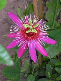Passiflora Gritensis