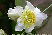 Passiflora Guatemalensis