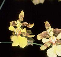 Oncidium ansiferum