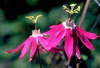 Passiflora Palmeri