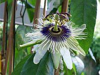 Passiflora Paulo