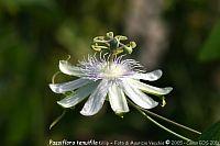 Passiflora Tenuifila