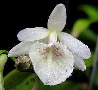Dendrobium cretaceun