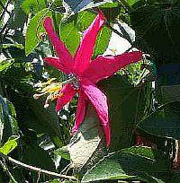Passiflora Susan Brigham