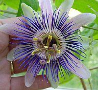 Passiflora Nina