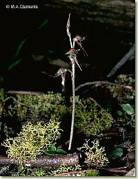Acianthus collinus